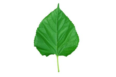 Fresh green mulberry leaves isolated on white background Imagens