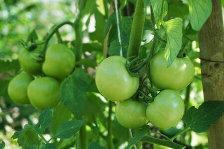 Green tomatoes on the tree in a tomato garden. 스톡 콘텐츠