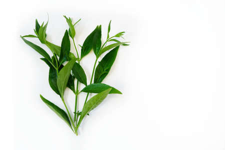 Andrographis paniculata plant on white 스톡 콘텐츠