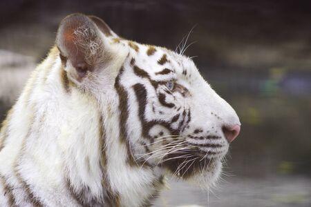 eye: tiger