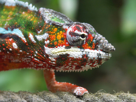 The chameleon creeps on a cord photo