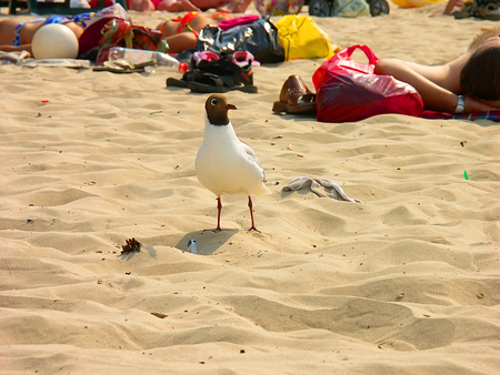 which: The seagull walks on a beach on which people sunbathe