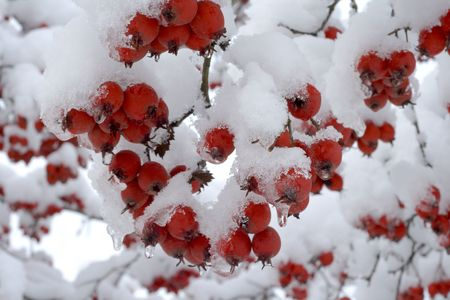 Red winter berries with new fallen snow. photo