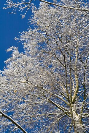 Birches just after the snowfall photo