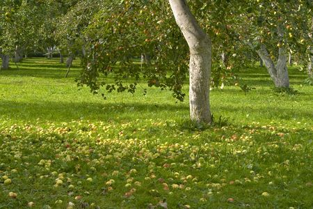 Apples fallen under a tree. Harvest in Latvia. photo