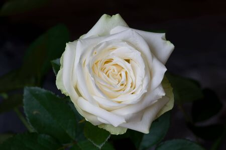 grew: In a garden very beautiful white rose grew Stock Photo