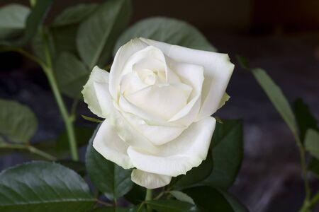 grew: In a garden very beautiful white rose grew Stock Photo