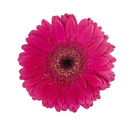 Red gerbera on a white background photo