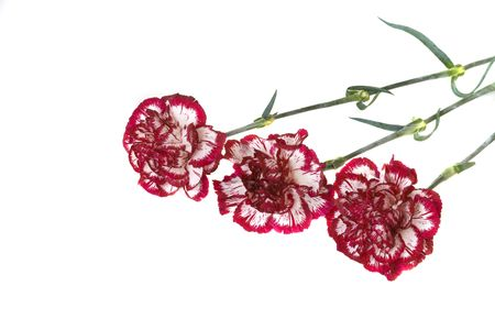 Red carnations on a white background with copy space Stock Photo - 2905195