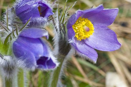 balmy: Common pasque flower (pulsatilla vulgaris), one of the earliest flowers in spring