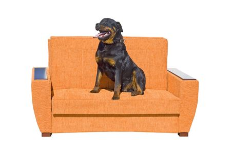 Black dog seating on the sofa. Isolated on a white background photo