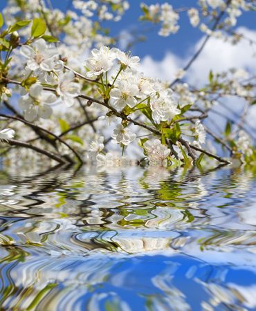 black cherry tree: Cherry blossoms on a black cherry tree against the blue sky with reflection on the water