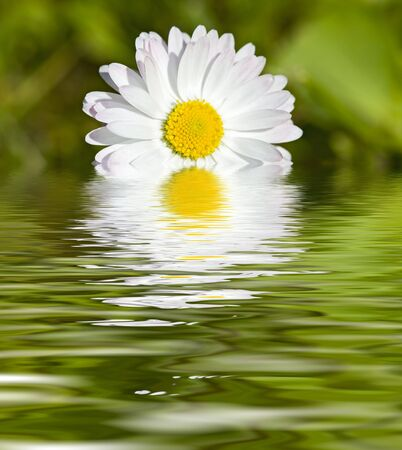 White gerbera with reflection on the water photo