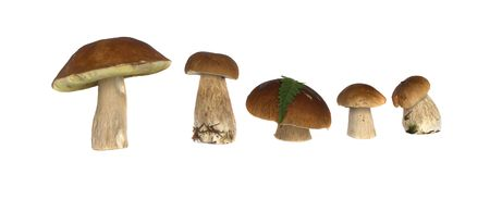 fungaceous: It is a lot of ceps on a white background