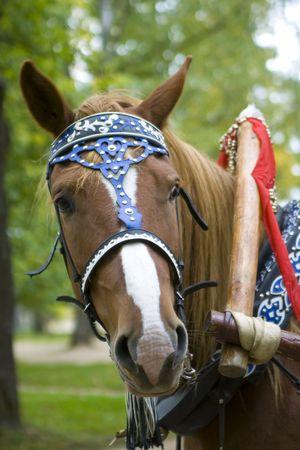 show horse: Beautiful show horse head portrait Stock Photo