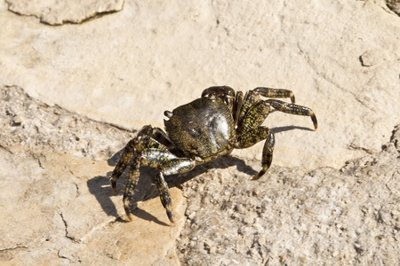Adriatic Sea crab on the rock. Photographed in Croatia. photo