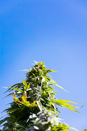 The main cola of a medical marijuana plant.