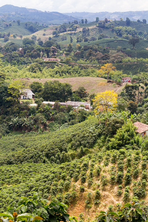 colombian food: Portrait view of coffee plants on a plantation near Chinchina, colombia. Stock Photo
