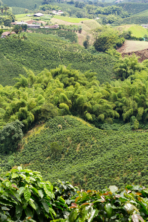 cafe colombiano: Coffee plants growing at a plantation near the town of Chinchina, Colombia.