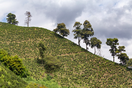 cafe colombiano: Coffee plants grow on a steep hillside at a coffee plantation near Chinchina, Colombia.