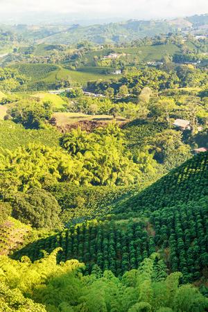 Rijen koffieplanten in een koffieplantage in de buurt van Manizales in de koffiehoek van Colombia.