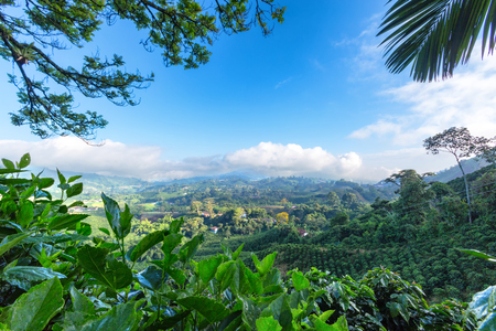 Early morning View of a Coffee plantation near Manizales in the Coffee Triangle of Colombia. Stock Photo