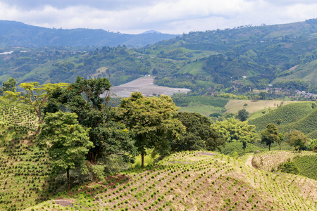 cafe colombiano: A verdent green valley dotted with newly planted coffee bushes near Chinchina, Colombia.