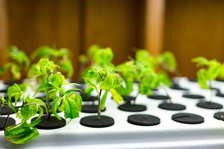 Small medical marijuana seedlings at a medical marijuana grow operation. Banco de Imagens - 76667910