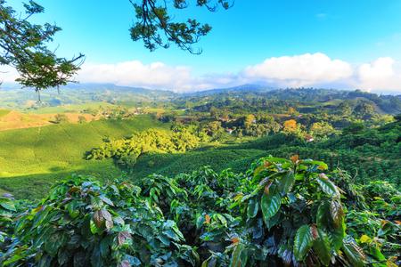 Mening van een Koffieaanplanting dichtbij Manizales in de Koffiedriehoek van Colombia met koffieinstallaties in de voorgrond.