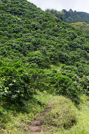 as far as the eye can see: A path leads up into a mountain that is draped in coffee trees as far as the eye can see near Chinchina, Colombia.