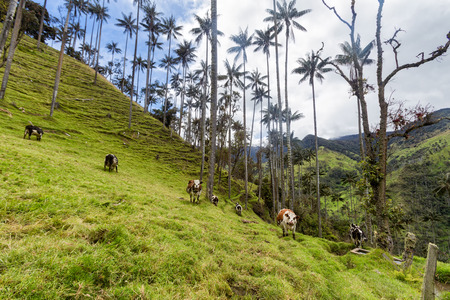 Cows graze on a rural pasture among wax palms in Tolima, Colombia.