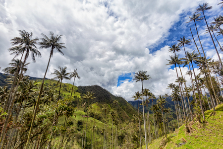 Wax palms rise high into the sky in Tolima, Colombia. Stock Photo