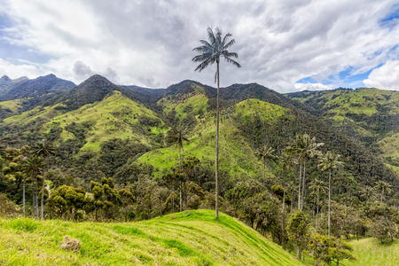 cafe colombiano: A lone wax palm on the top of a hill near Salento, Colombia.