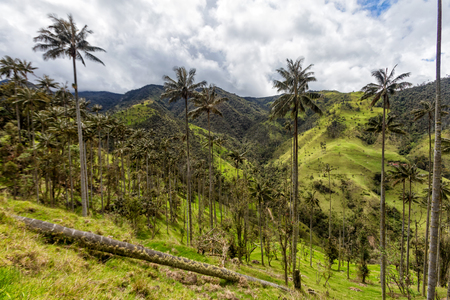 A wax palm forest in a pasture in Tolima, Colombia.