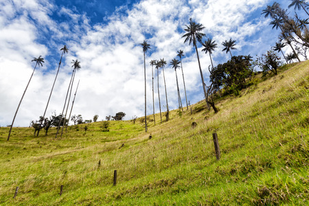 cafe colombiano: View up a ridge in pasture land with a fence and wax palms near Salento, Colombia.