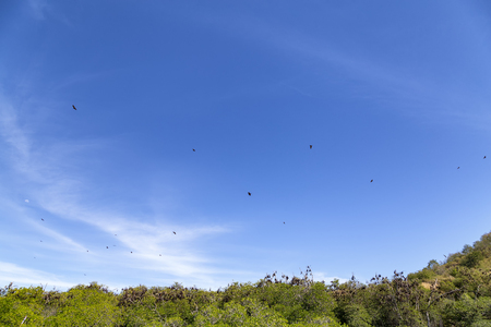 Fruit Bats circling above a mangrove forest in the Seventeen Island National Park.