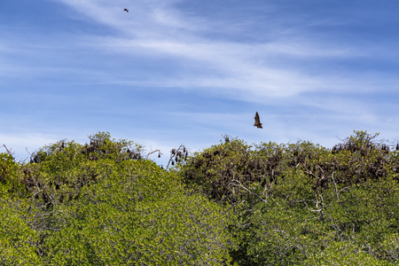 Fruit Bats sleeping in mangrove trees on one of the islands of the Seventeen Island National Park in Flores, Indonesia.