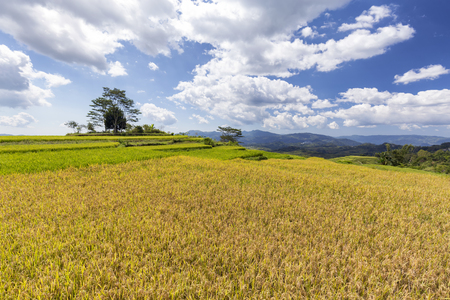 Mature rice at the Golo Cador Terraced rice fields near Ruteng in Flores, Indonesia.