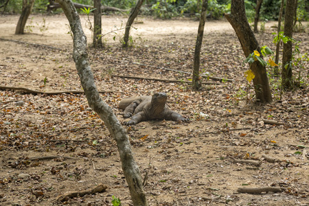 A Komodo Dragon chilling out on the forest floor in the Komodo National Park.
