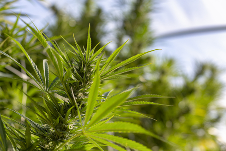 A cannabis plant soaking up the suns rays in an outdoor grow operation. Banco de Imagens