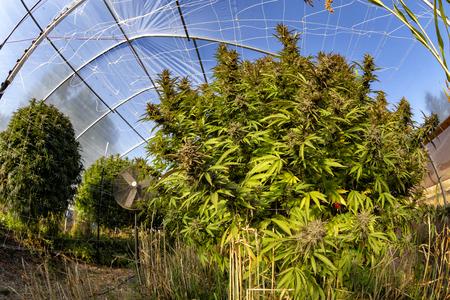 Massive marijuana plants twice the height of an average human at an outdoor grow operation.