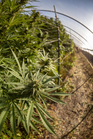 Fisheye view of cannabis plants fading ino the distance.