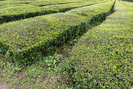 Green rows of tea growing near Sao Bras on Sao Miguel in the Azores. 版權商用圖片