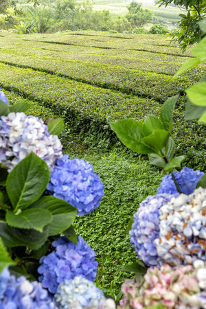 Rows of tea and hydrangea flowers on Sao Miguel in the Azores.