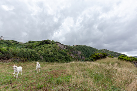 Goats on a bluff near Santa Cruz das Flores in the Azores.
