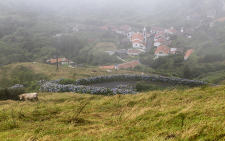 Pasture and hydrangeas leading down to Lajedo in Flores, Portugal. 免版税图像