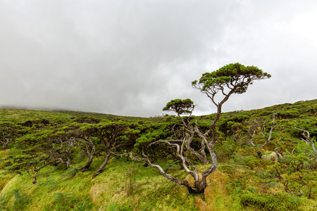 A weathered tree on the island of Flores in the Azores, Portugal.