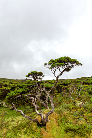 Portrait of a weathered tree on the island of Flores in the Azores.