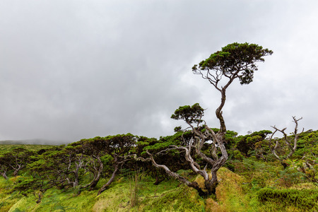 Beautiful tree on a cloudy summer day on Flores island in the Azores. 版權商用圖片