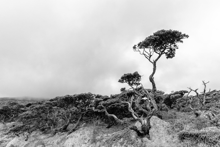 Wide angle black and white view of a tree in the Azores island of Flores. 版權商用圖片